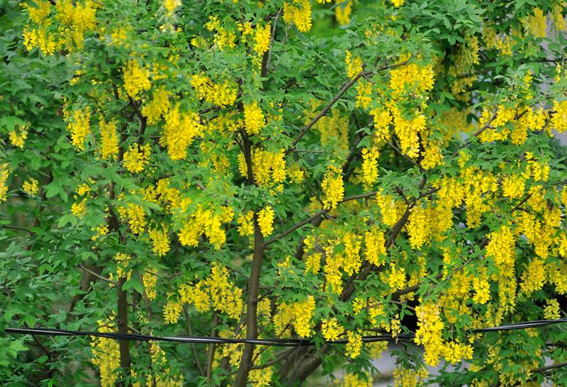 Yellow-chain-tree