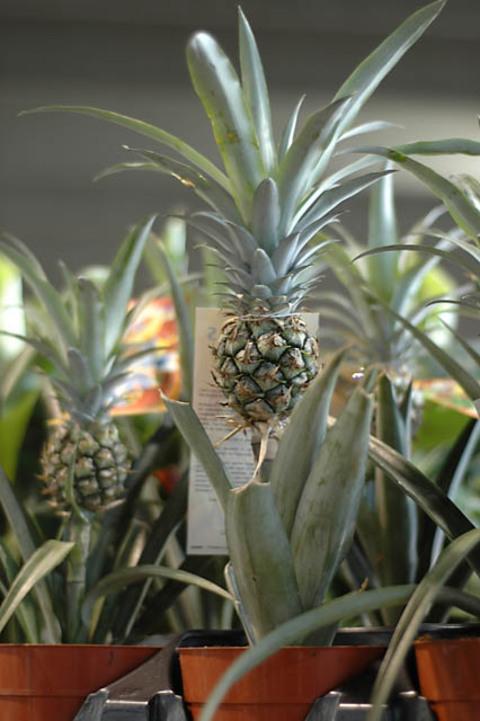 Mini_pineapple_1