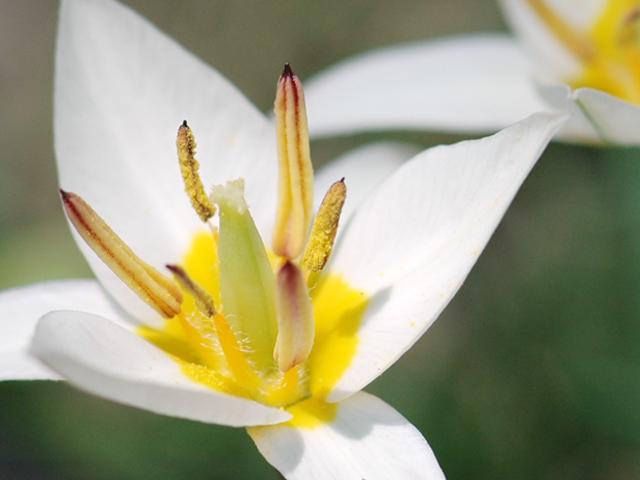 Species_tulip