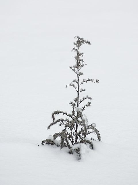 Charlies_tree