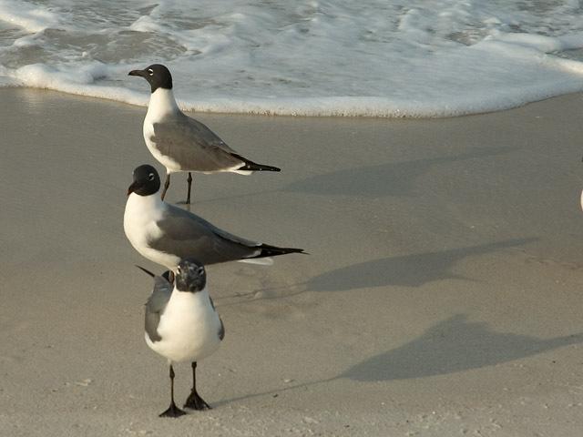 Napoleon_gulls