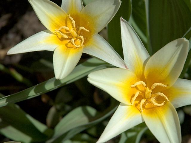 Species_tulips