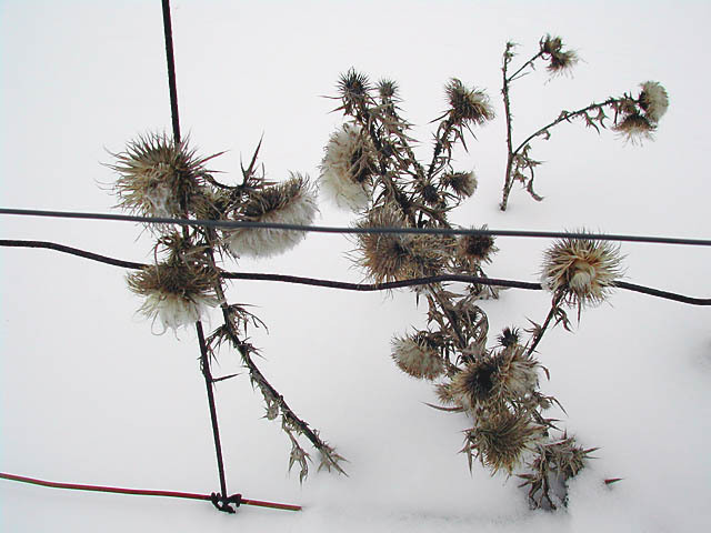 Thistle_and_wire
