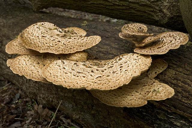 Wild_mushrooms